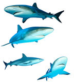 rekiny Fotografia Stock
