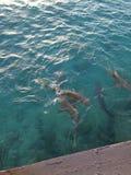 Rekiny czeka karmiącym Zdjęcia Stock