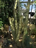 'Rekonesansowy Żywy kaktus' Obraz Stock