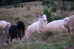 Relájese en granja con los animales Foto de archivo