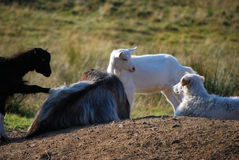 Relájese en granja con los animales Imagen de archivo libre de regalías