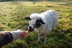 Relájese en granja con los animales Fotografía de archivo