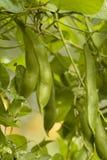 Relâche des haricots de légumes verts Image libre de droits