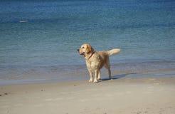 Relógio do cão Imagens de Stock Royalty Free