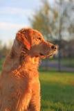 Relógio do cão do golden retriever Imagens de Stock Royalty Free