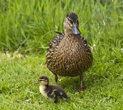 Pato pequeno do pato grande Imagem de Stock