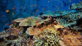 Rel van het onderwaterleven Diversiteit van vorm, fabelachtige kleuren van zachte koralen en kleurrijke school van vissen Papoea  stock foto