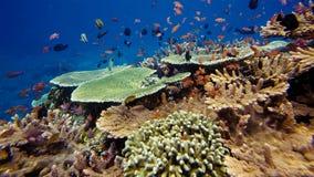 Rel van het onderwaterleven Diversiteit van vorm, fabelachtige kleuren van zachte koralen en kleurrijke school van vissen Papoea  stock foto's
