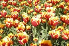 Rel van Tulpen Stock Afbeelding