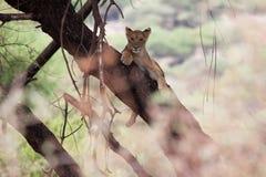 Relajación joven del león una ramificación de árbol en el lago Manya Fotografía de archivo libre de regalías