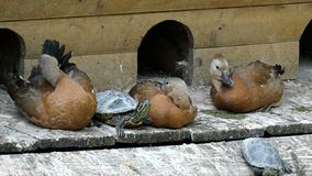 Relaksować kaczki i żółwie na drewnianym jeziornym banku w mo zbiory