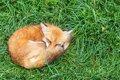 Relaksować Fox Fotografia Royalty Free