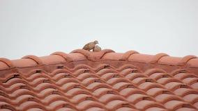 Relaksująca pary zebra Nurkująca Na Red Roof zdjęcie wideo