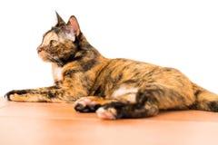 Relaksującego tabby dorosły kot kłaść w dół na parterze kot jest zdjęcia royalty free