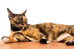 Relaksującego tabby dorosły kot kłaść w dół na parterze kot jest obraz stock
