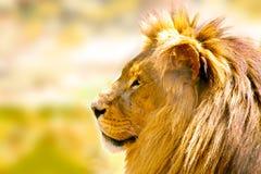 relaksujący afrykański lew Fotografia Stock