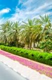 Relaksujący drzewka palmowe pod słońcem w Dubaj Zdjęcia Royalty Free