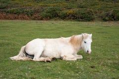 Relaksujący koń Obrazy Stock