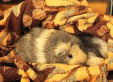 Relaksujący królik doświadczalny Fotografia Stock