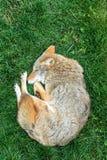 Relaksujący kojot Obraz Stock