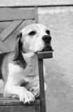 Relaksujący pies Obrazy Stock