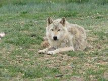 relaksujący wilk Zdjęcie Royalty Free