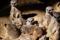 Relaksuje afrykanina Meerkat Suricata suricatta rodzina Obrazy Stock