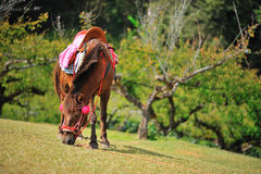 Relaksuje konia Fotografia Royalty Free