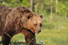 Relance de um urso Imagens de Stock