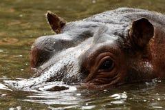 Relance do hippopotamus Fotos de Stock Royalty Free