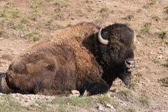 Relance lateral por um búfalo imagens de stock