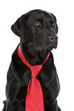 relation étroite rouge noire de Labrador images stock