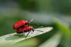 Relations gratuites dans les insectes Scarabées sur une promenade Photographie stock libre de droits