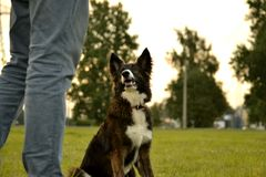 Young energetic dog on a walk. Puppies education, cynology, intensive training of young dogs. Walking dogs in nature. Relationship between man and dog stock photography