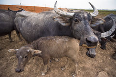In relationship. The relationship between the mother and a baby buffalo , they are together showing  love , make seen the ties or the love that can be happen to Royalty Free Stock Photography