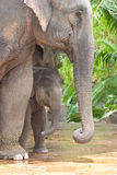 Relationship, Thai Elephant Stock Photography