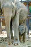 Relationship, Thai Elephant Stock Photography