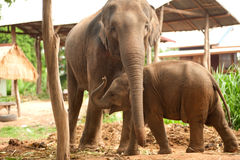 Relationship Thai Elephant calf and mom. Royalty Free Stock Photography