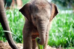 Relationship Thai Elephant calf and mom. Stock Image