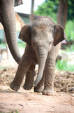 Relationship Thai Elephant calf and mom. Stock Photography