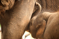 Relationship Thai Elephant calf and mom. Royalty Free Stock Image