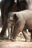 Relationship Thai Elephant calf and mom. Royalty Free Stock Photos