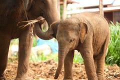 Relationship Thai Elephant calf and mom. Stock Photos