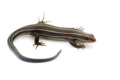 Relative of Japanese Five-lined Skink-Plestiodon sp. Stock Photos
