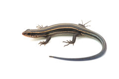 Relative of Japanese Five-lined Skink-Plestiodon sp. Stock Images