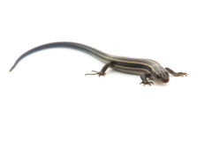 Relative of Japanese Five-lined Skink-Plestiodon sp. Royalty Free Stock Image