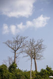 Relatively young baobab trees Stock Photo