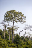 Relatively young baobab trees Stock Photography