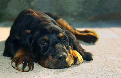 Relax. Lying dog puppy in sunshine.Gordonsetter Royalty Free Stock Photo