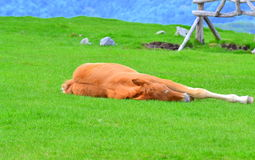 Relax. Enchanting view of a red foal sleeping on fresh green grass field at spring day Royalty Free Stock Photography